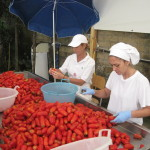 picking through tomatoes
